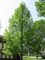 American Sentry Linden Trees for sale illinois