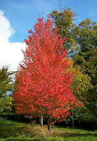 armstrong-red-maple trees for sale