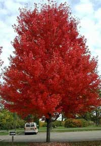 canadian hemlock tree