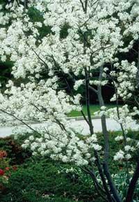 serviceberry shrubs for sale