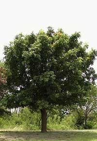 bur-oak tree sales