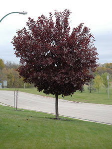 canada-red-select-cherry