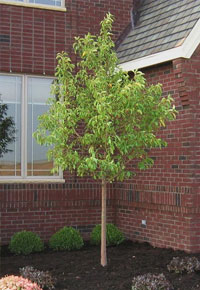 Red Jewel Crabapple trees for sale illinois