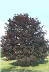 crimson-king-maple trees for sale