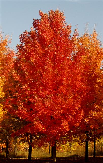 fall-fiesta-sugar-maple