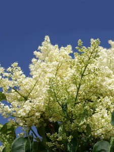 ivory-silk-lilacs for sale
