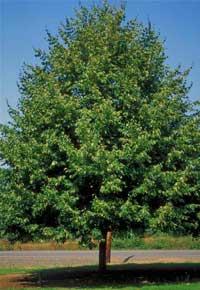 Linden Greenspire Tree