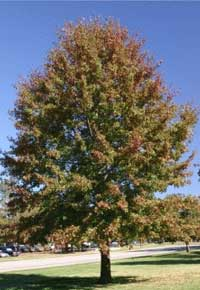 northern-red-oak trees for sale
