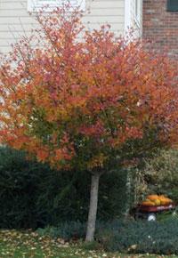 thornless cockspur hawthorne tree for sale
