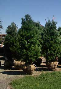 White Pine Trees for sale