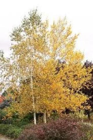 Whitespire Birch Tree Nursery